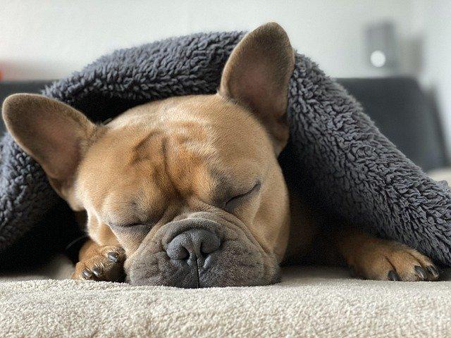 pejsek pod dekou